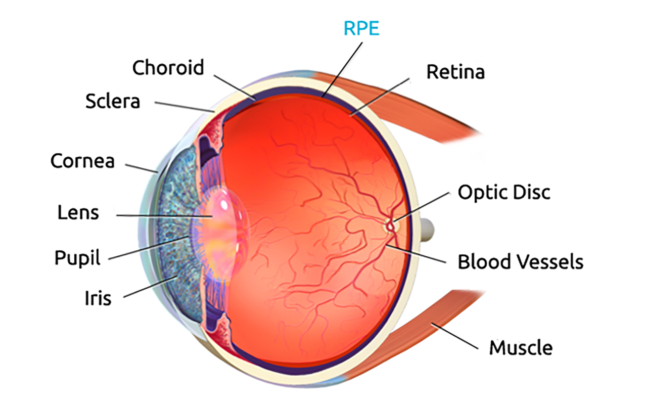 An image of the eye showing different parts of the eye.